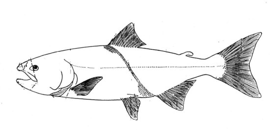 salmon fish coloring page